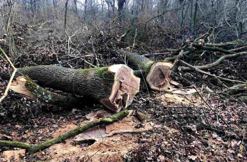 На Стрийщині виявили незаконну масову вирубку дубів