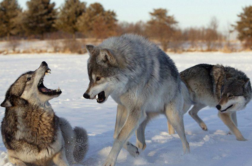 Голодні вовки атакували селище на Прикарпатті (відео)