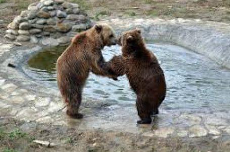 У львівському притулку прокинулися ведмеді: ласують та дивуються снігу